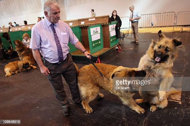A man tries to control his leonberger dogs on the second day of the annual Crufts dog show at the National Exhibition Centre on March 11 2011 in...