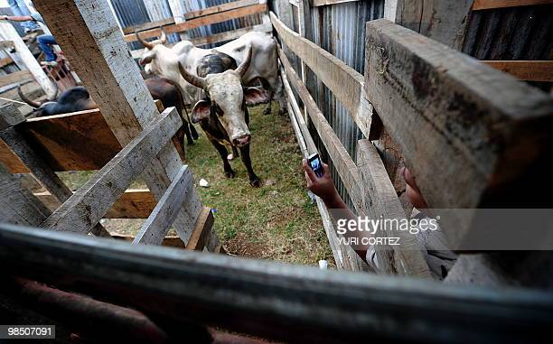 A man tries to get a photo of a bull with his mobile before a bull riding festival on April 16 in San Ramon about 60 km north of San Jose Bull riding...