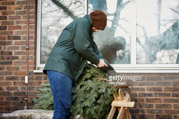 A man trimming the end off a traditional pine tree, Christmas tree, using a hand saw.