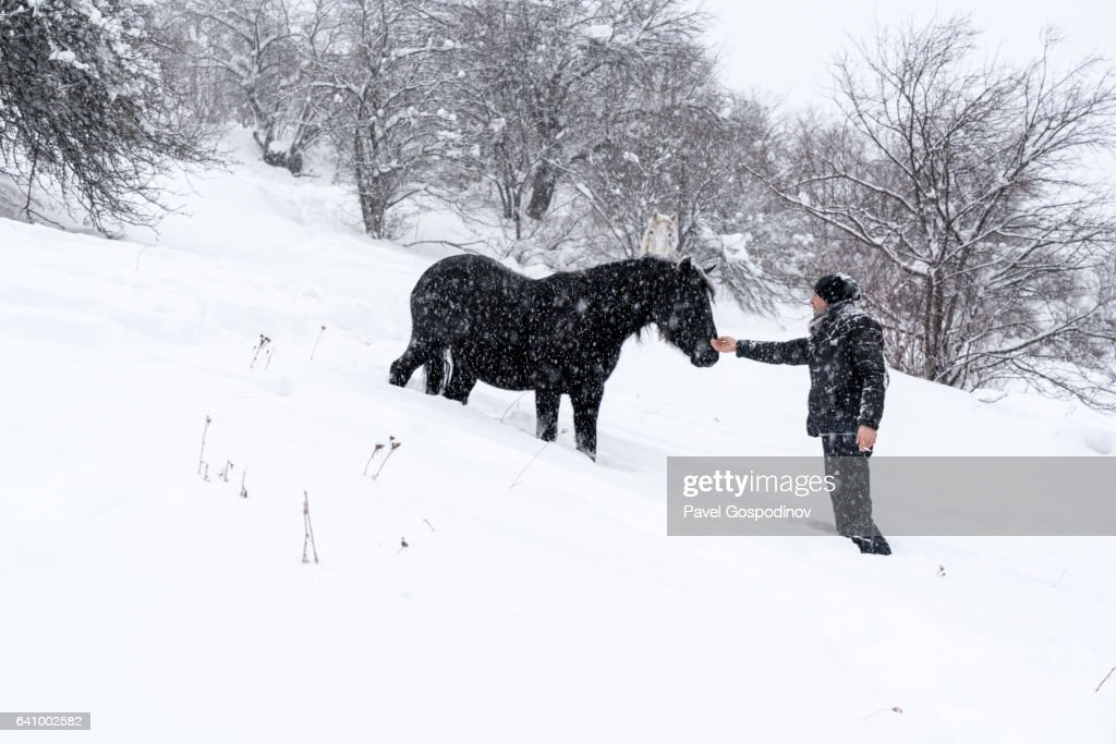 Man Trying To Touch A Black Horse From A Herd Of Free Semiwild Horses In The Mountain During A Snow Blizzard With Heavy Snowfall High Res Stock Photo Getty Images