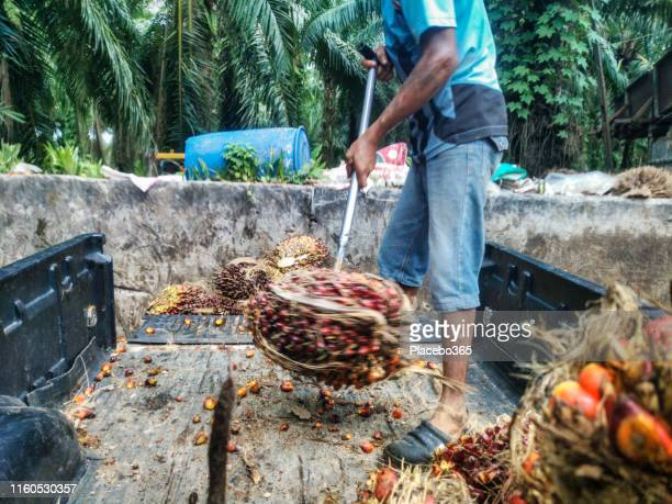 man unloading palm fruit from pick-up truck - palm oil stock pictures, royalty-free photos & images