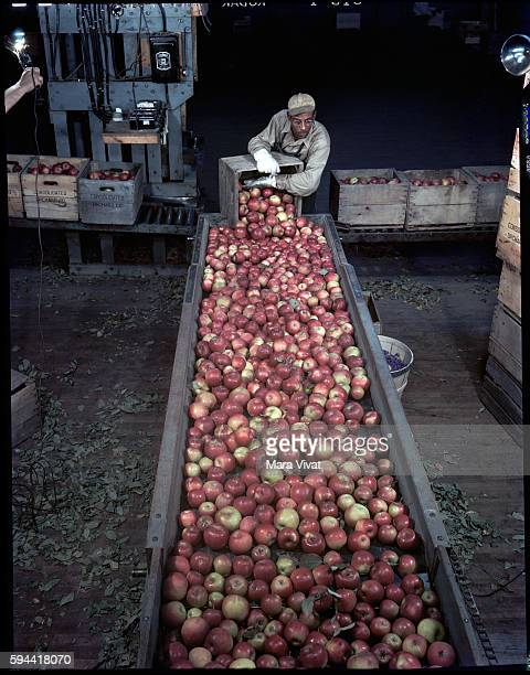 A man unloads crates of apples onto a conveyor belt at a food processing plant Virginia USA