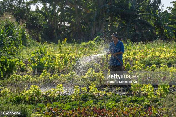 A man use a hose to water the plants on a urban vegetable garden The backlit image shows the person wearing military pants and a blue shirt Urban...