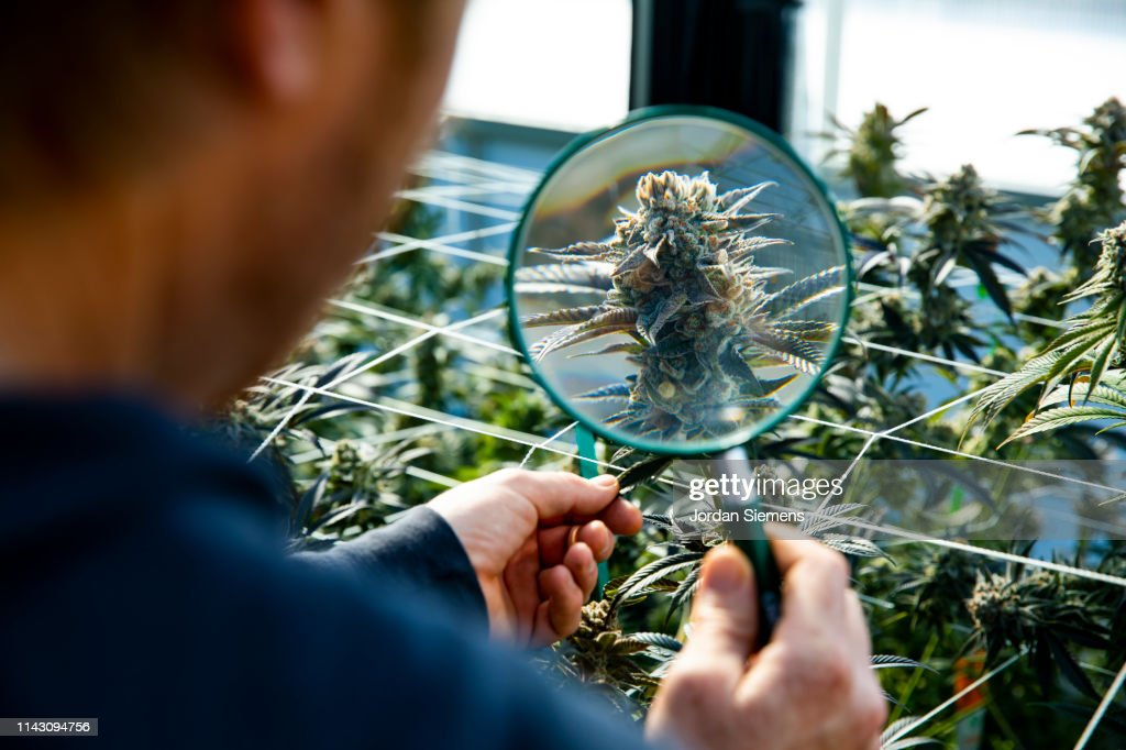 A man using an magnify glass to inspect a marijuana plant ready for harvest. : ストックフォト