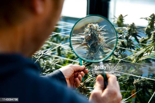 a man using an magnify glass to inspect a marijuana plant ready for harvest. - 大麻草 ストックフォトと画像