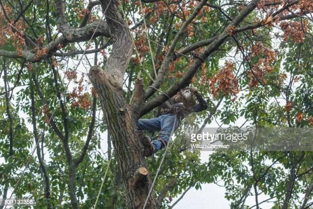 Man Using Chainsaw To Cut Limb From Dead Oak Tree Stock Photo