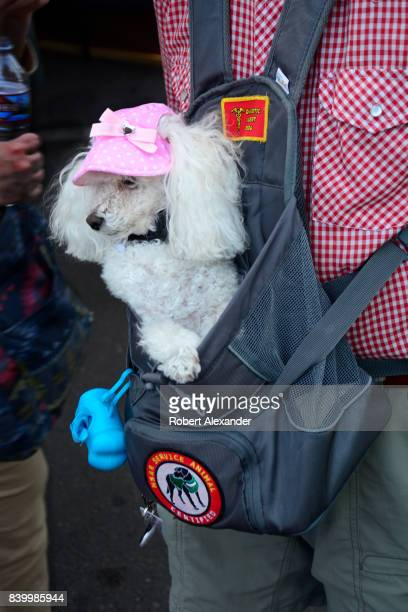 A man visiting Santa Fe New Mexico carries his diabetic alert dog in an Outward Hound PoochPouch while visiting Santa Fe New Mexico The dog a poodle...