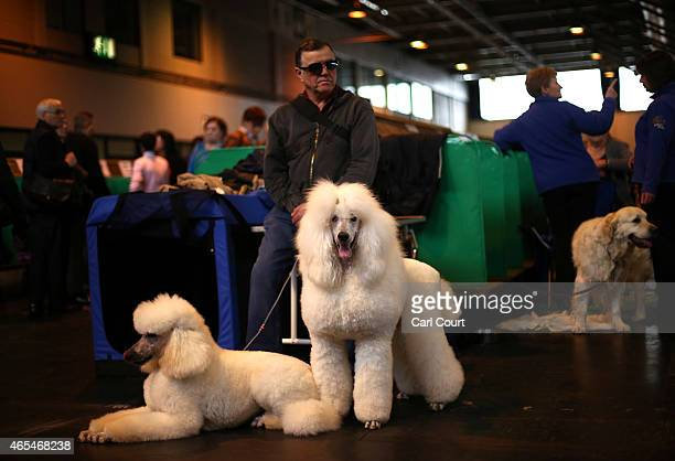 Man waits with his Standard Poodles on the third day of the Crufts dog show at the National Exhibition Centre on March 7, 2015 in Birmingham,...
