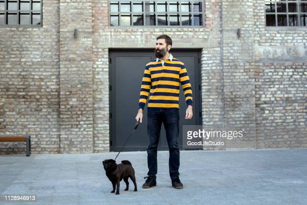 man walking a pug dog - dog walker stock photos and pictures