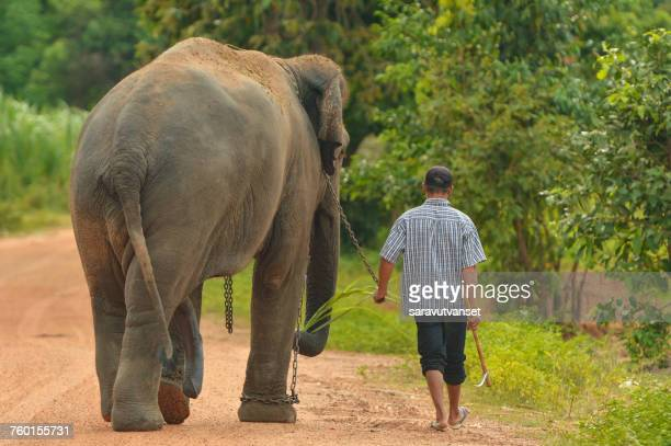 man walking along road with his elephant, surin, thailand - asian elephant stock pictures, royalty-free photos & images