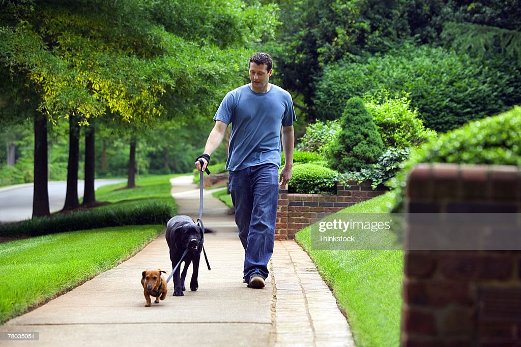 Man walking dogs down sidewalk : Stock Photo