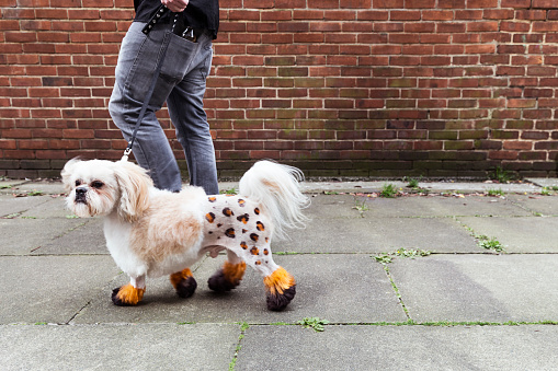 Man walking groomed dog with dyed shaved fur - gettyimageskorea
