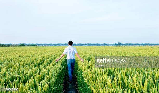 man walking in a rice field - paddy field stock pictures, royalty-free photos & images