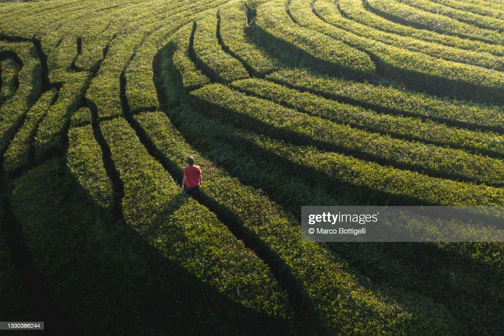 Man walking in a tea plantation in Sao Miguel, Azores : Stock Photo