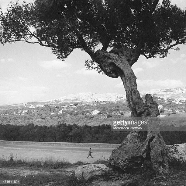 'A man walking in an oliveyard Agrigento December 1956 '