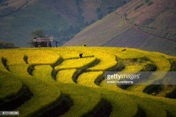 man walking on rice terrace - rice terrace stock pictures, royalty-free photos & images