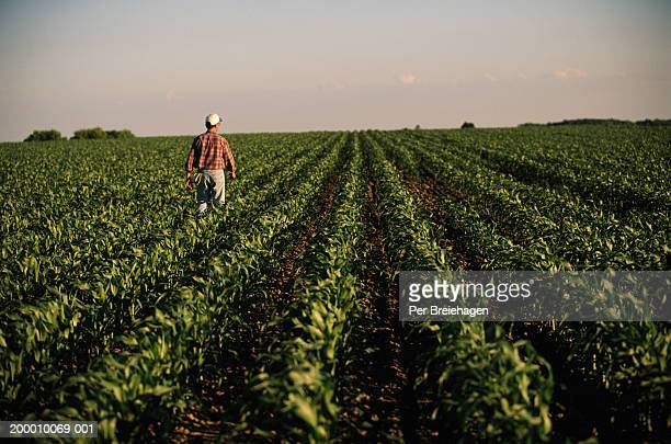man walking through cornfield, rear view - produtor - fotografias e filmes do acervo