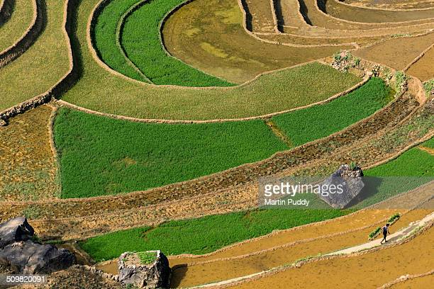 man walking through rice fields carrying seedlings