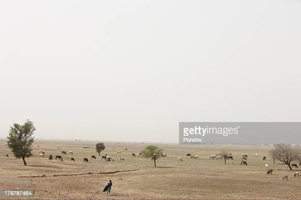 man walking through the cattle in the field - domestic animals ストックフォトと画像