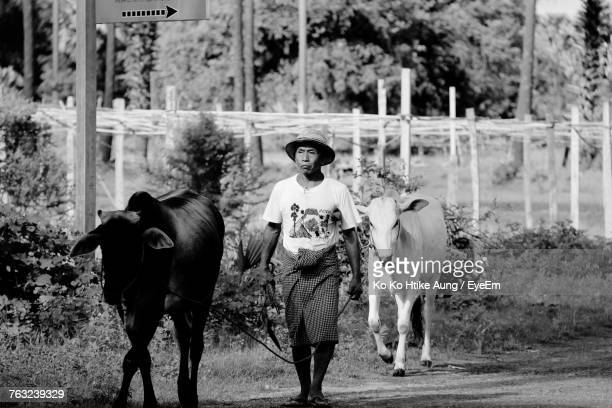 man walking with cows on field - ko ko htike aung stock pictures, royalty-free photos & images