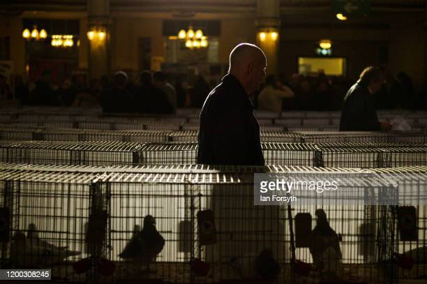 A man walks among the pigeons on display on the first day of the annual British Homing Pigeon World Show of the Year at Blackpool Winter Gardens on...