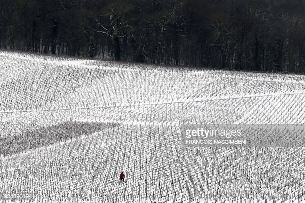 A man walks among the vineyards covered in snow in MaillyChampagne near Reims in the Champagne region on March 19 on th eve of the first spring day /...