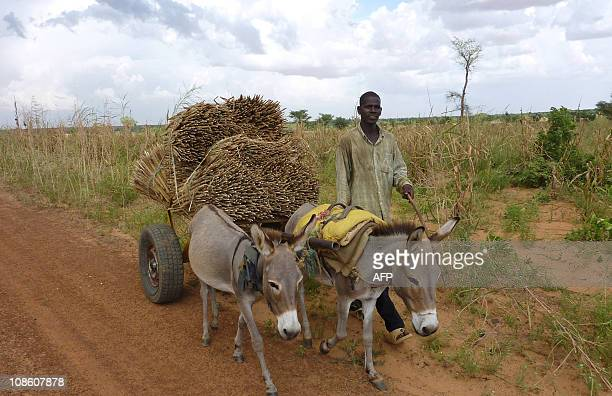 HAMAA man walks by his mules carrying millet on January 27 2011 near the village of Simiri Niger where the 2009 food crisis was controlled thanks to...
