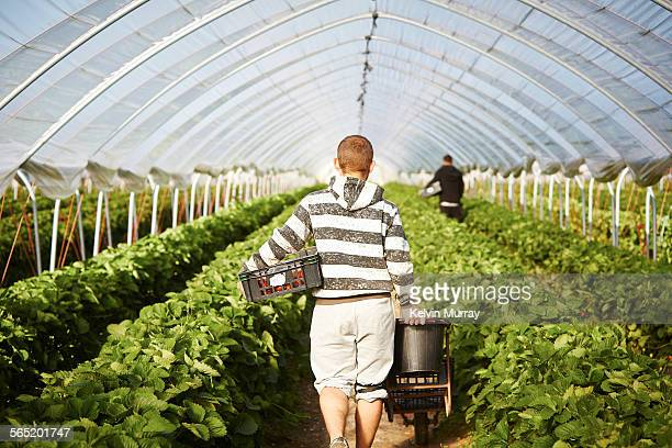A man walks down poly tunnel with harvest