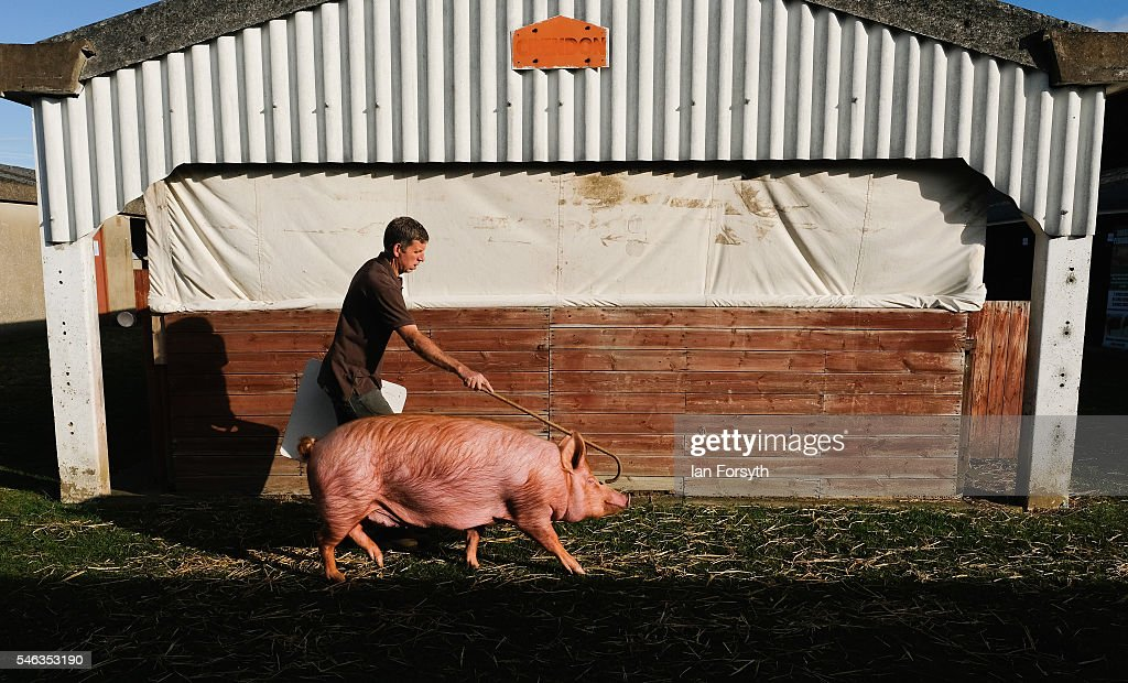 A man walks his pig ahead of competing at the Great Yorkshire Show on July 12, 2016 in Harrogate, England. The annual Great Yorkshire Show now in its 158th year is the UK's premier agricultural event and brings together agricultural displays, livestock events, farming demonstrations, food, dairy and produce stands as well as equestrian events to the thousands of visitors who attend the popular show over three days to celebrate the farming and agricultural community and their way of life.