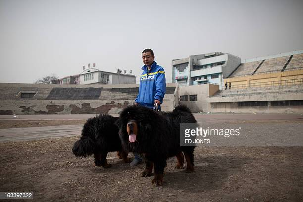 A man walks his Tibetan mastiff dogs at a mastiff show in Baoding Hebei province south of Beijing on March 9 2013 Fetching prices around 750000 USD...