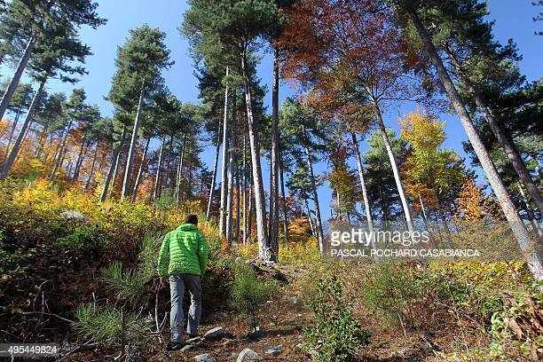 A man walks into the Vizzavona forest in the Autumn season in Vivario on the French Mediterranean island of Corsica on November 1 2015 AFP PHOTO /...
