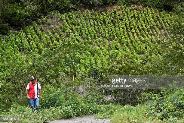 A man walks near a field of coca in a rural area of Policarpa department of Narino Colombia on January 15 2017 Coca growers are worried about the...