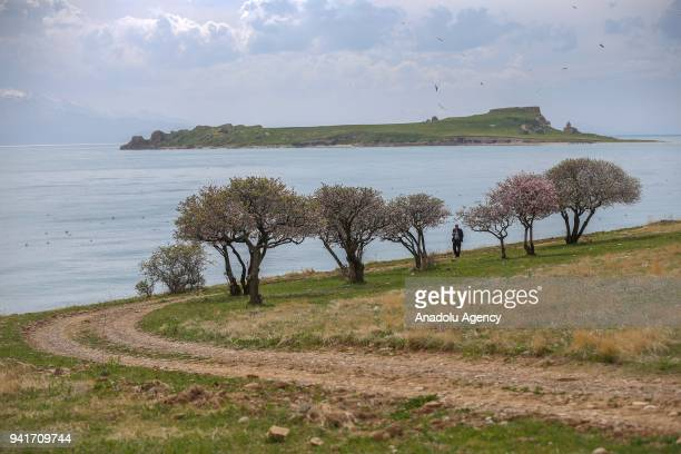 A man walks on a road between the shore and trees as the Carpanak Island is seen in the background during spring season at northeast of Lake Van near...