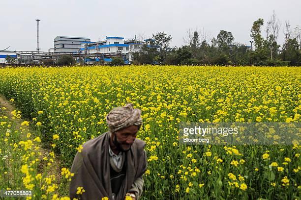 A man walks though a field of mustard flowers near the Ranbaxy Laboratories Ltd facility in Toansa Punjab India on Monday Feb 10 2014 Americas $93...