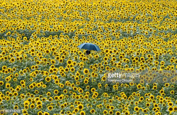 A man walks through a sunflower field on August 11 2019 in Hokuto Yamanashi Japan Japan's annual summer holiday season known as Obon starts from...