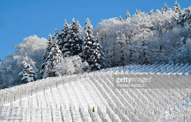 Man walks through the snow covered vineyards in Offenburg, southern Germany on January 15, 2021.