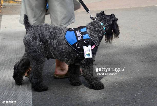 A man walks with his service dog while visiting Santa Fe New Mexico The dog a Kerry Blue Terrier is a certified NSAR service animal