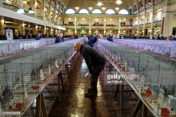 A man wanders among the pigeons on display on the first day of the annual British Homing Pigeon World Show of the Year at Blackpool Winter Gardens on...