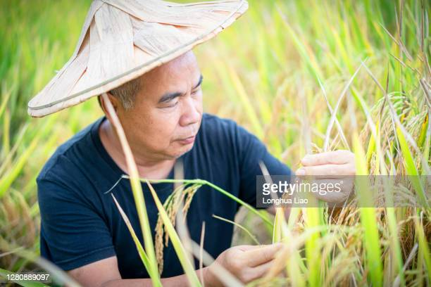 a man was observing the ripe ears of rice - china east asia stock pictures, royalty-free photos & images
