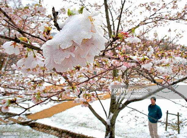 A man watches snowcovered fullybloomed cherry blossoms at Mount Rokko on April 8 2015 in Kobe Hyogo Japan A coldair system covers eastern and central...