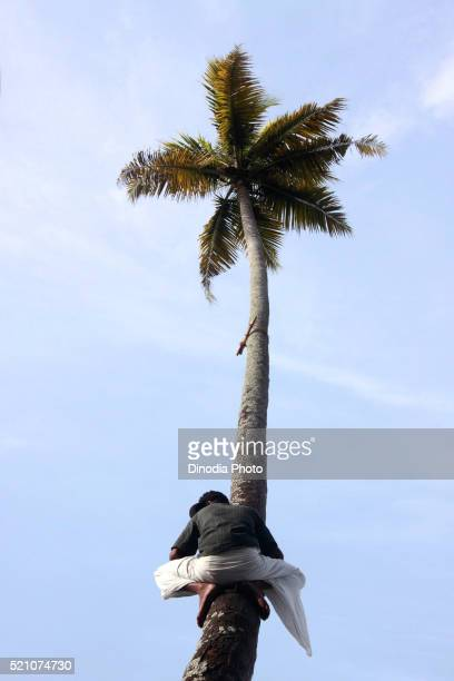 Man watching from coconut tree snake boat race on punnamada lake, Alleppey, Alappuzha, Kerala, India
