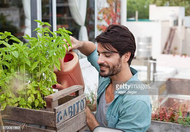 man watering basil - green fingers stock pictures, royalty-free photos & images