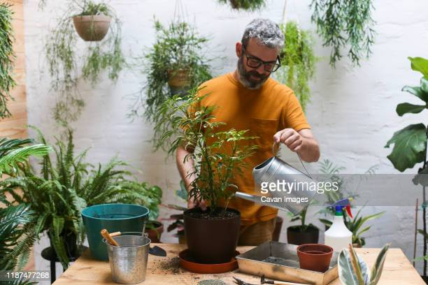 man watering green plant (schefflera umbrella dwarf plant) - dwarf man stock pictures, royalty-free photos & images