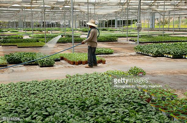 man waters flats of basil and other herbs in a greenhouse - timothy hearsum stock pictures, royalty-free photos & images