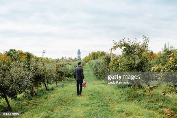a man who picks apples in an orchard - apfelbaum stock-fotos und bilder