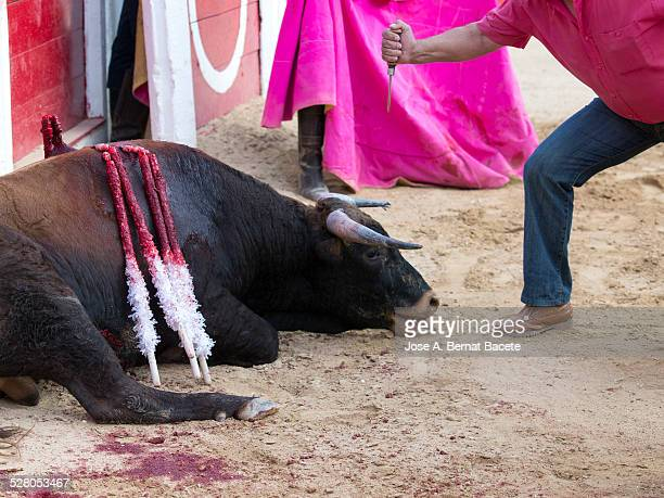 man with a knife sacrificing a bull - stab wound stock pictures, royalty-free photos & images