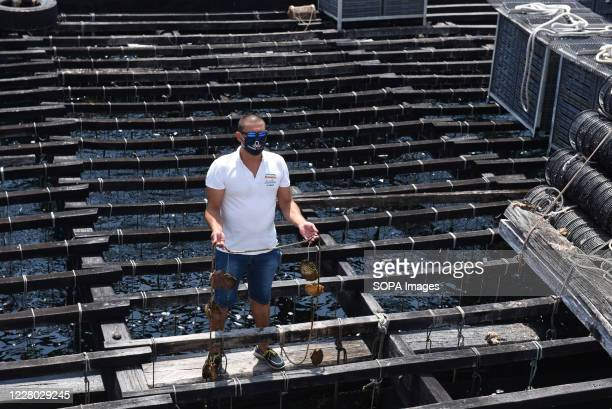 A man with a mask shows a rope with oysters that are farmed on Bateas near O Grove Bateas are wooden platforms in the water for the farming of...