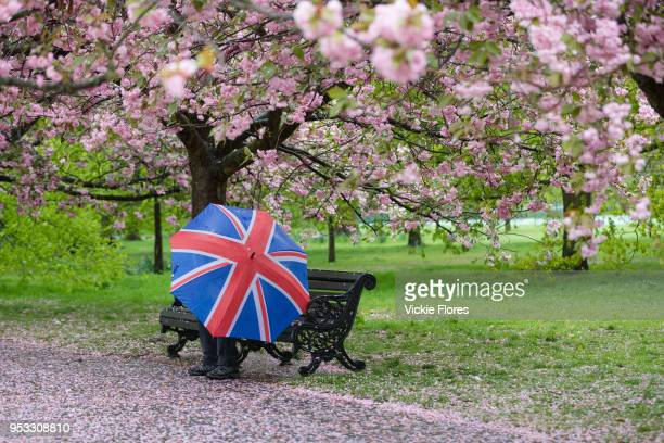 A man with a union jack umbrella sits on a bench under cherry blossom trees during rain and wet weather on April 30 2018 in Greenwich Park in London...