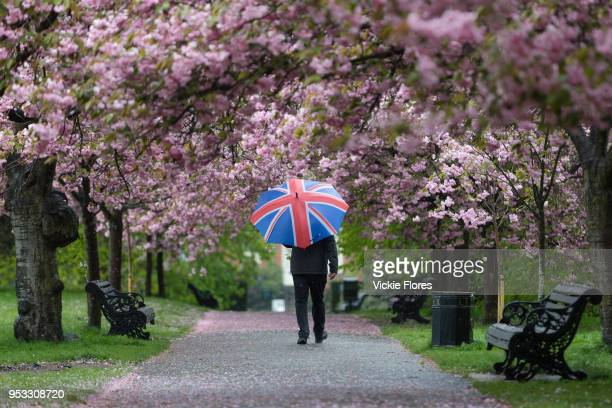 A man with a union jack umbrella walks under cherry blossom trees during rain and wet weather on April 30 2018 in Greenwich Park in London England
