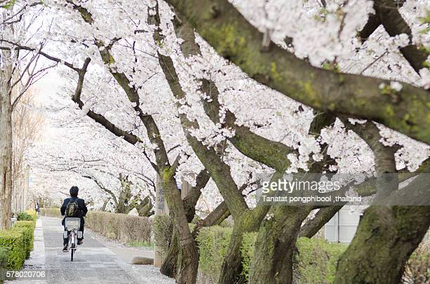 Man with bicycles with Cherry blossom in Japan.